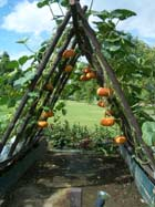 a frame supports hydroponically grown pumpkins
