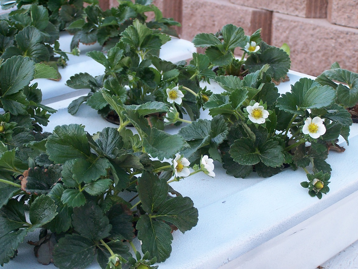 Flowers On Strawberry Plants In A Hydroponic System