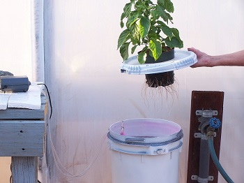 Dwc bucket hydroponic system with plant showing roots