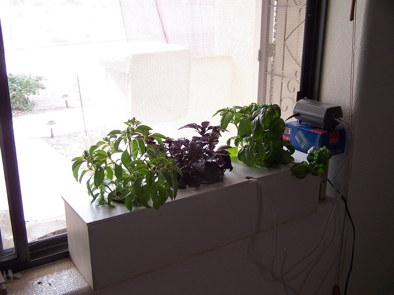 Hydroponically Grown Herbs In Window Water Culture System